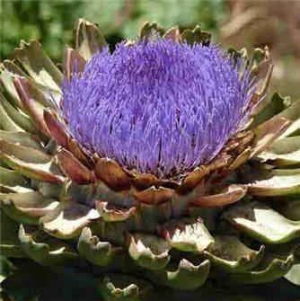 Imperial Star Artichoke Seeds