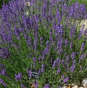Munstead Lavender Seeds.